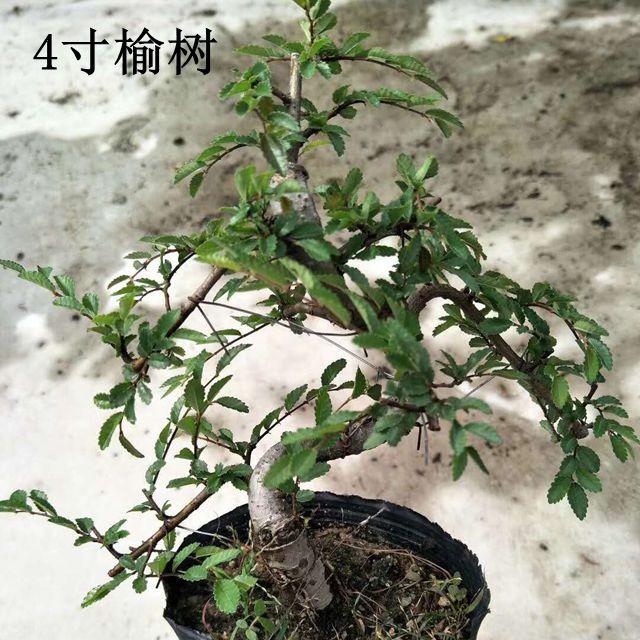 造型榆树4寸35盆/件   嘉美