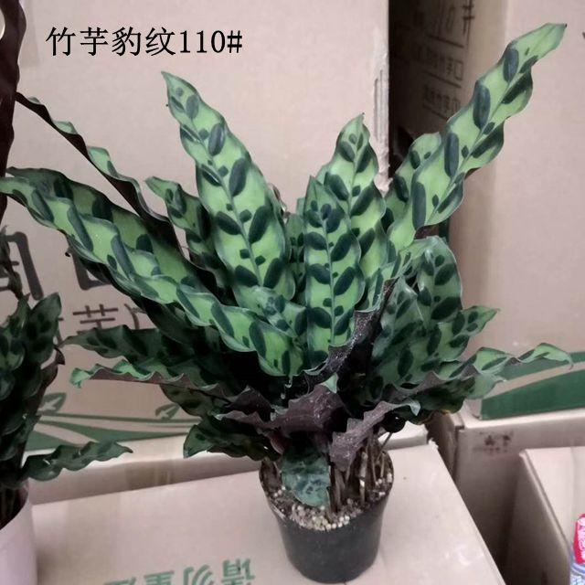 竹芋豹纹110#25盆/件 品卉