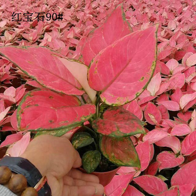 红宝石90#35盆/件  品卉