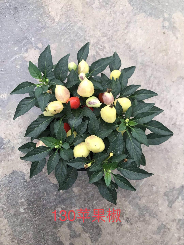 苹果椒130#20盆/件 心晴三水