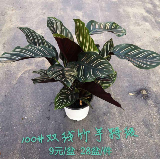双线竹芋-特级100#28盆菲朗