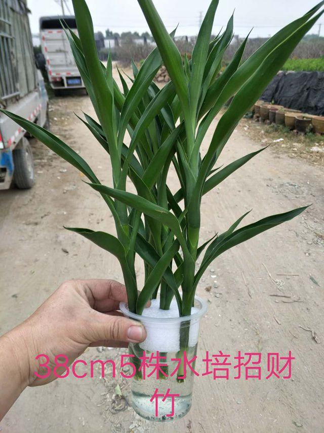 水培招财竹(38cm)35盆/件 奇立