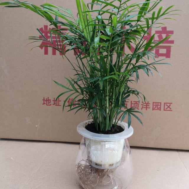 袖珍椰子-水培24盆/件 精品水培