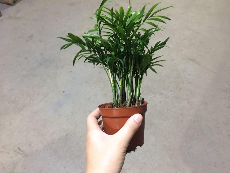袖珍椰子90#35盆/件 叶小兰