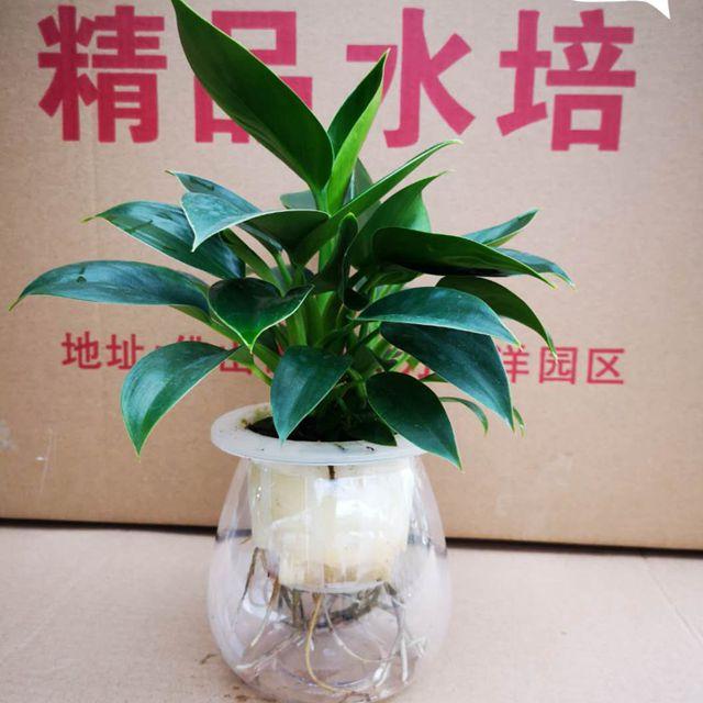 绿公主-水培(圆杯)24盆/件 精品水培