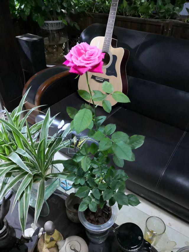 水培玫瑰15盆/件 神龙