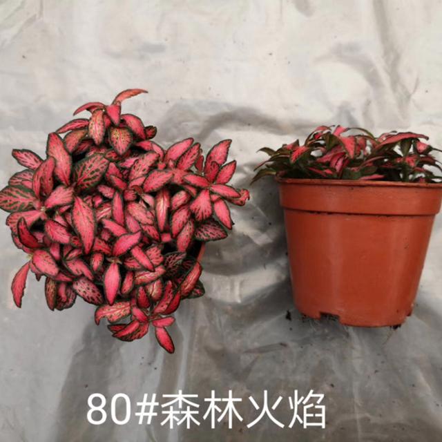 (网纹草)森林火焰80#45盆/件 大楚