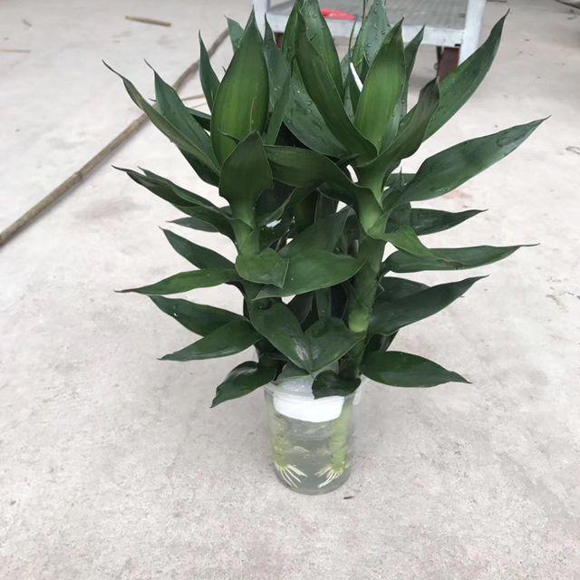 水培莲花竹38cm30盆/件 阳光