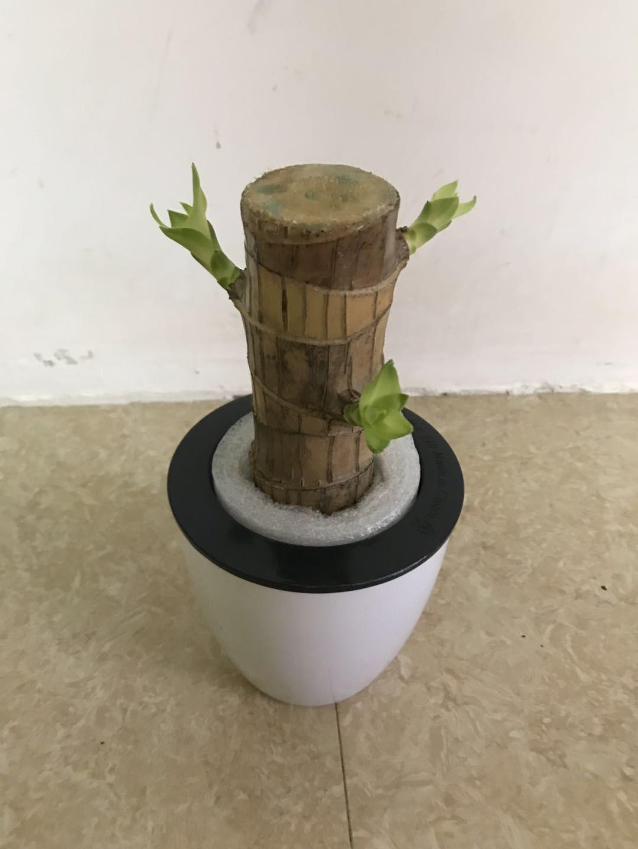 巴西木储水盆15盆 聚乐