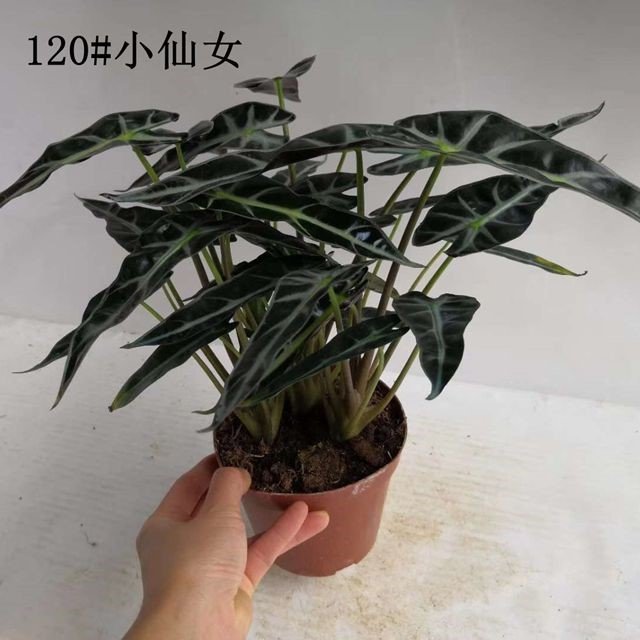 小仙女120# 24盆/件 恒美