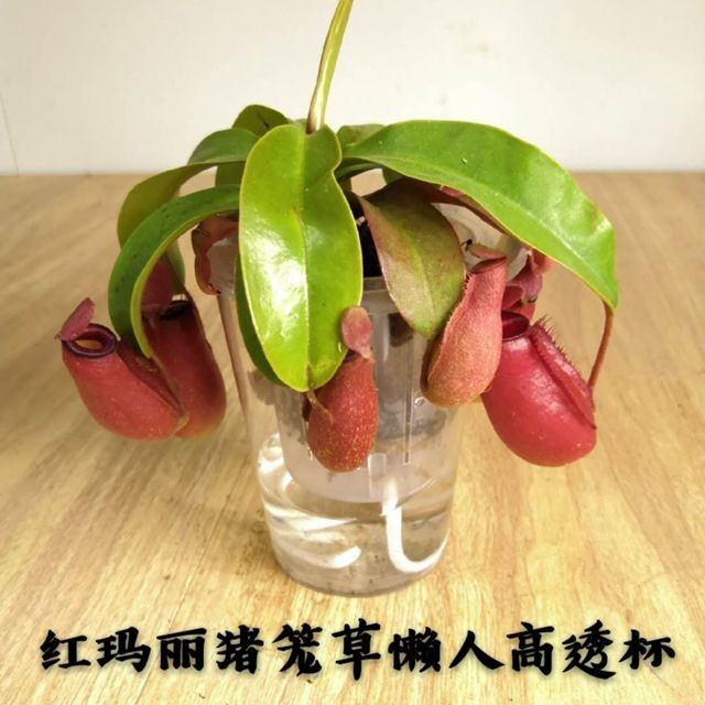 红玛丽猪笼草懒人杯高透杯 30盆/件 菲朗