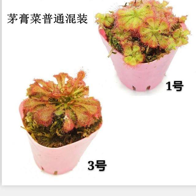 茅膏菜懒人盆混装 48盆/件 菲朗