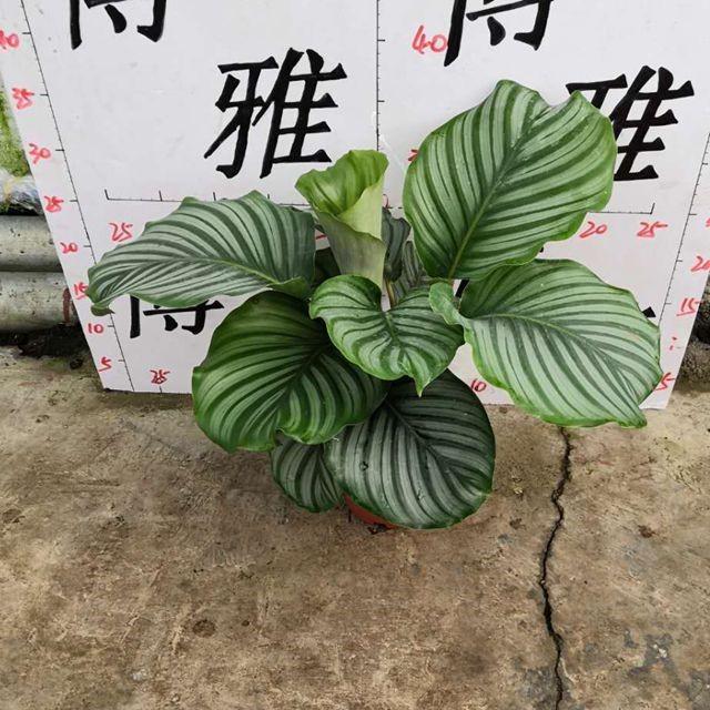 青苹果150# 18盆/件 博雅兴源