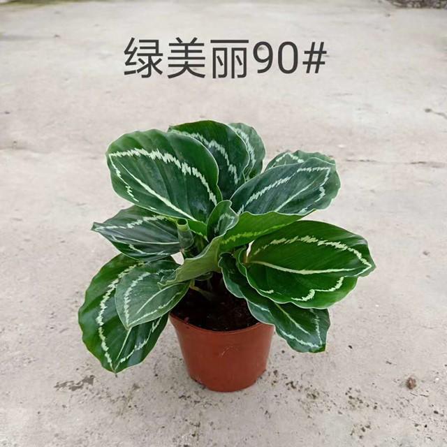 绿美丽90# 40盆/件 鑫鑫