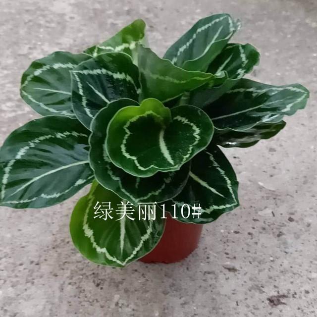 绿美丽110# 28盆/件 鑫鑫