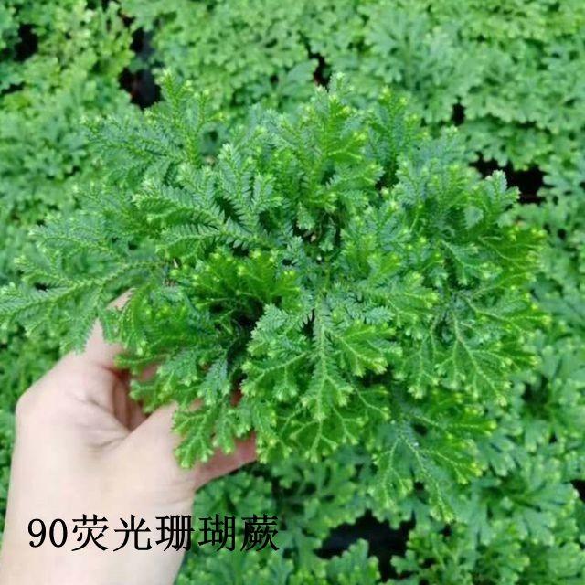 荧光珊瑚蕨90# 40盆/件 恒美