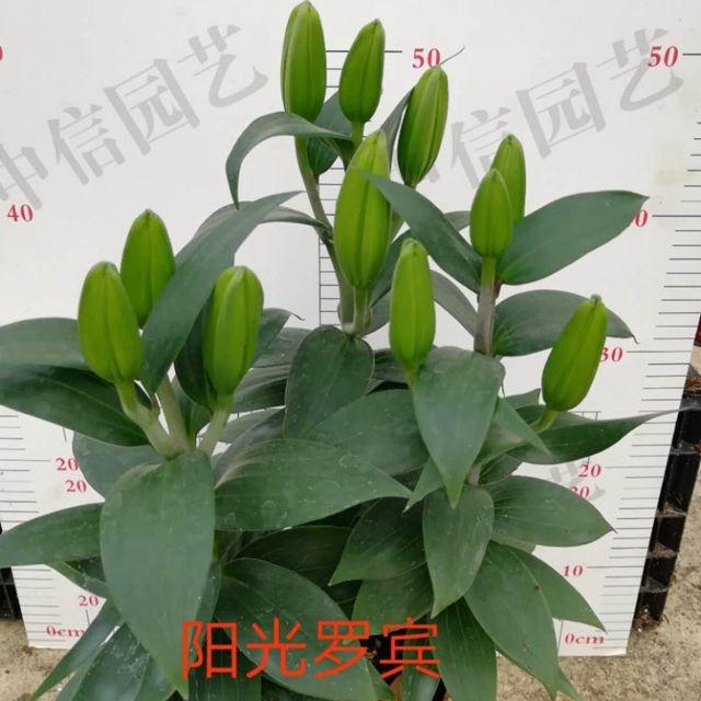 阳光罗宾香水百合(45-60cm) 12盆/件 中信
