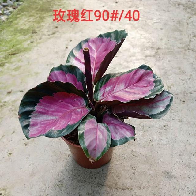 玫瑰红90# 40盆/件 鑫鑫