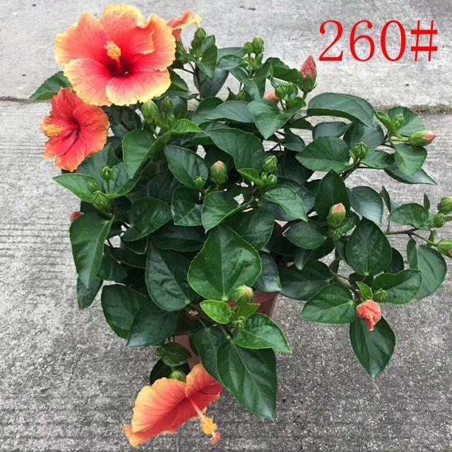 大红花260# 6盆/件 旺林
