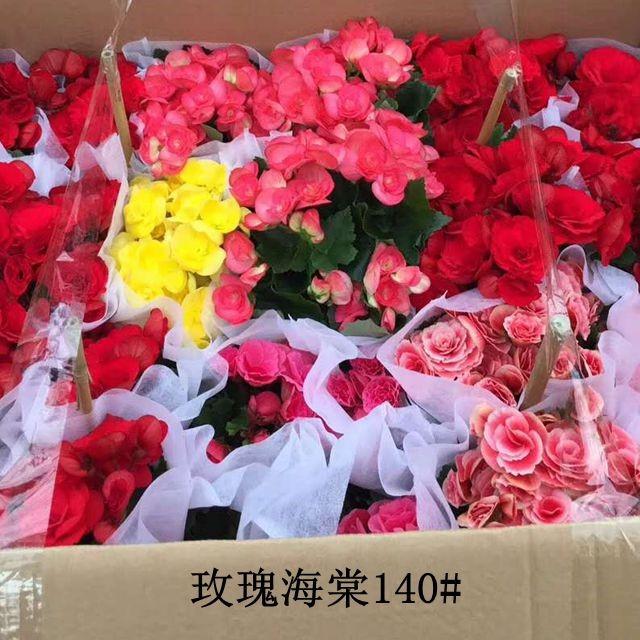 玫瑰海棠140# 24盆/件 君兰