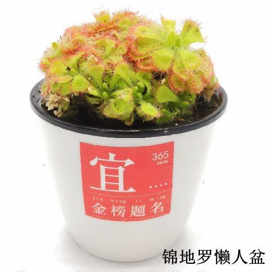 锦地罗懒人盆 28盆/件 菲朗