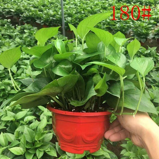八角红盆绿萝180# 11盆/件 恒香