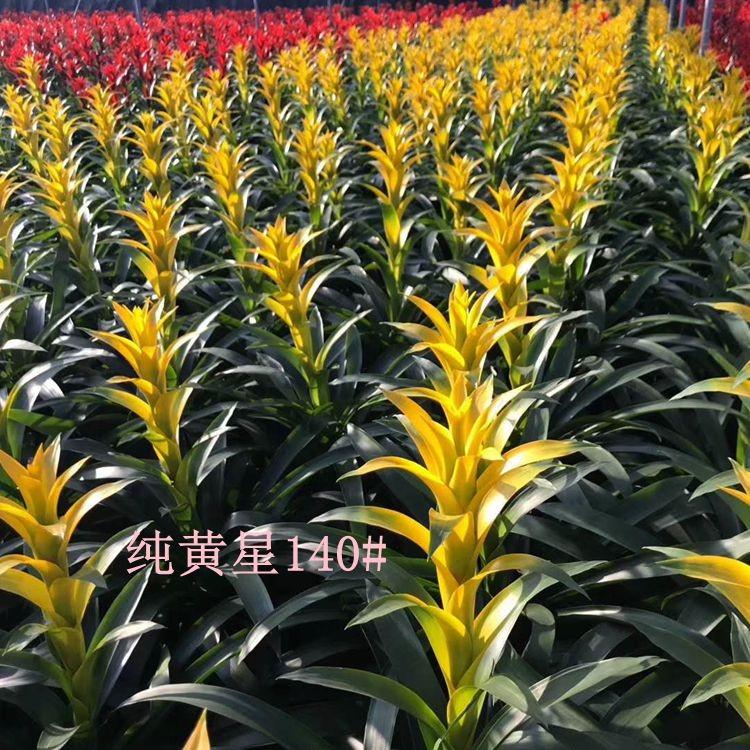纯黄星140# 30盆/件 嘉鑫