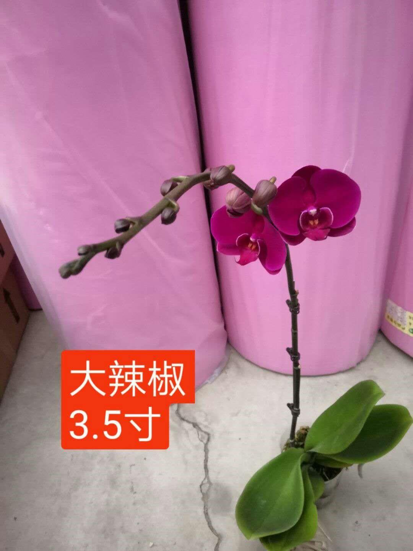 大辣椒蝴蝶兰3.5寸 20盆/件 生辉