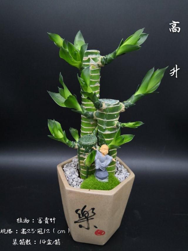 富贵竹-高升 14盆/件 卉海