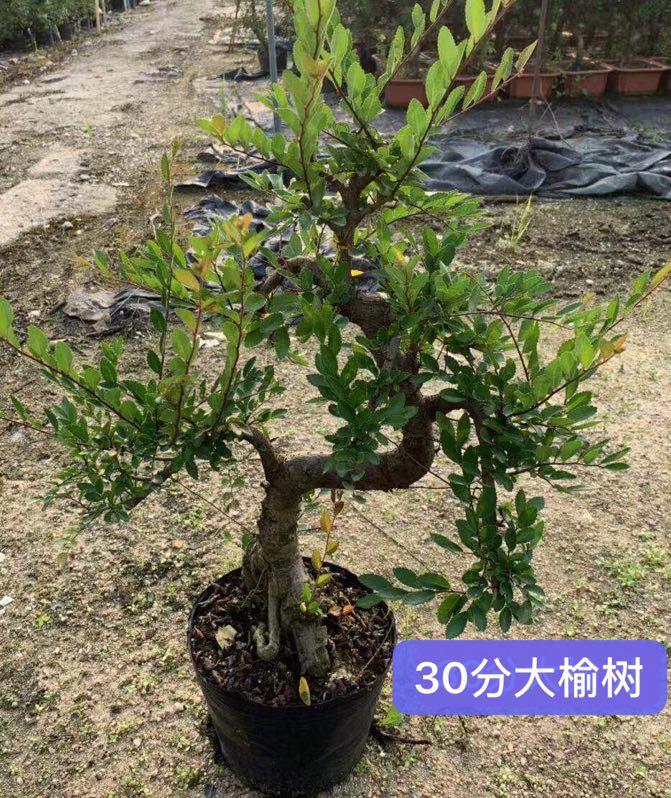 30分大榆树 10盆/件 大大盆景