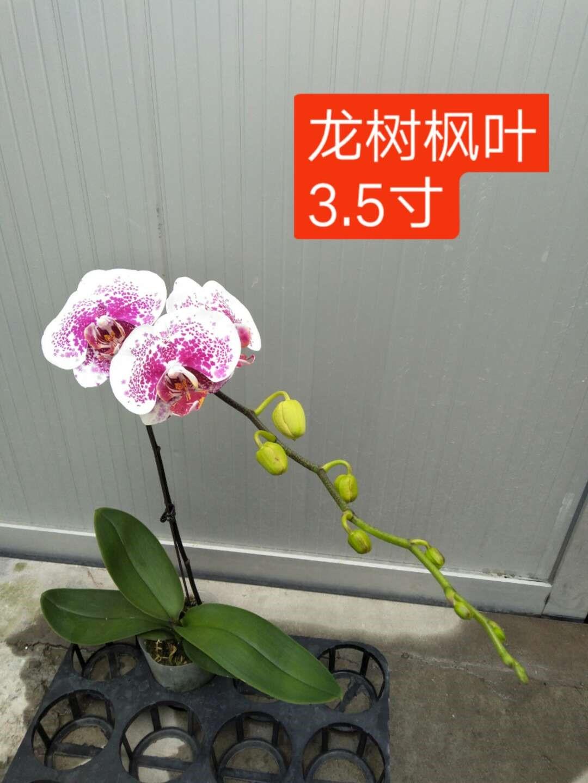 3.5寸龙树枫叶蝴蝶兰 20盆/件 生辉