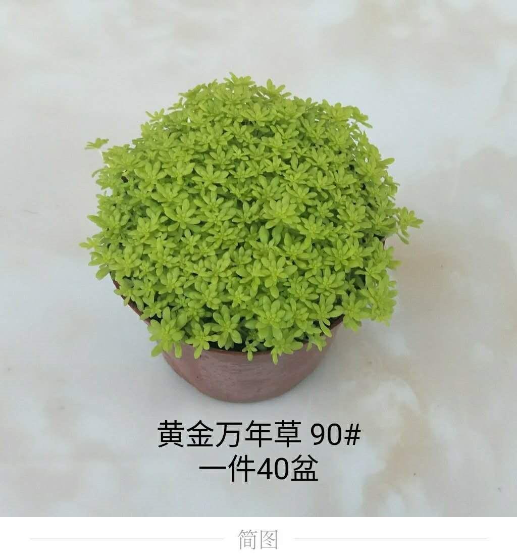 黄金万年草90# 40盆/件 恒俊