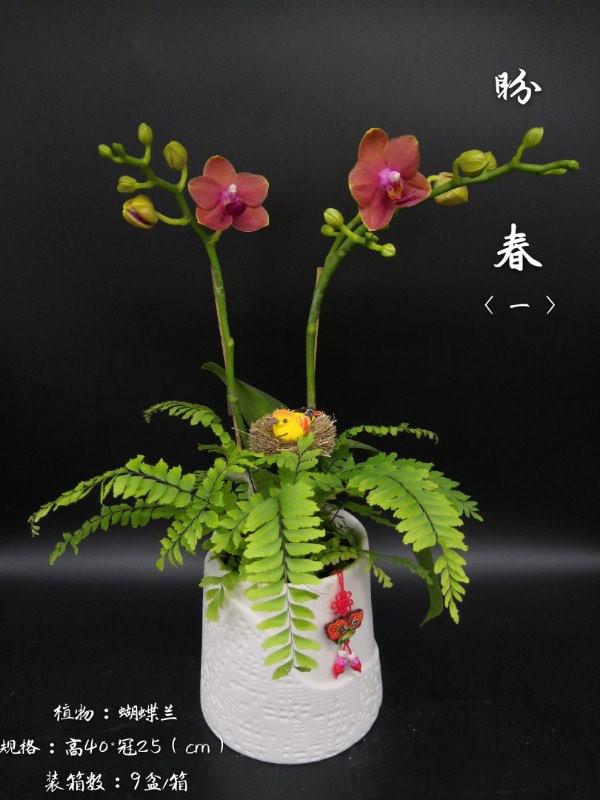 蝴蝶兰-盼春 9盆/件 卉海