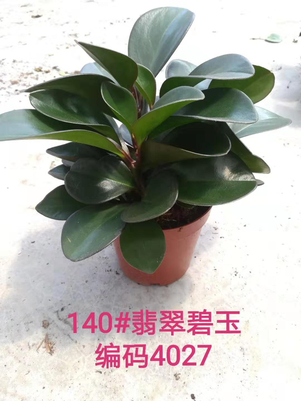 翡翠碧玉140# 14盆/件 缤纷宝翠