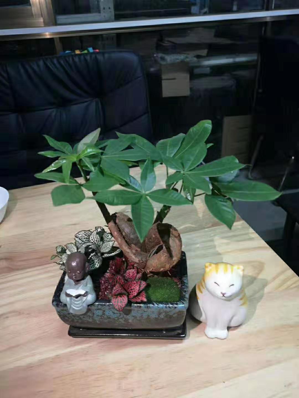 禅意发财树 16盆/件 自然猫