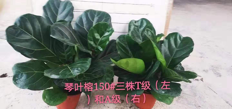 琴叶榕150#三株A级 15盆/件  阳光