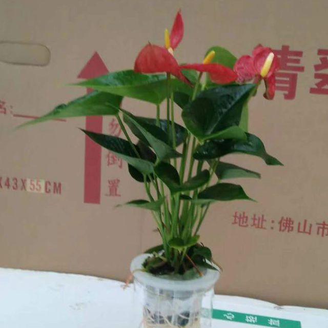 水培红掌24盆/件 清翠