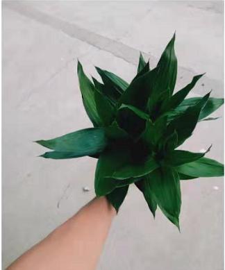 水培竹高35cm 30盆/件 双捷