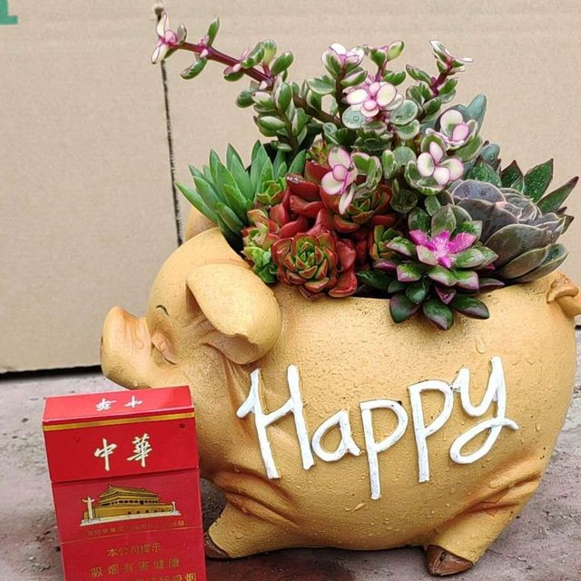 小猪多肉组盆 6盆/件 芗江