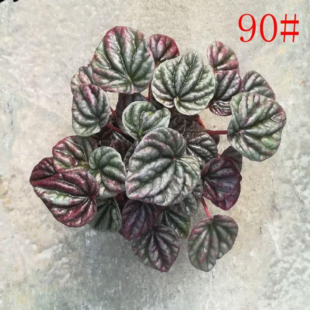 红美人90#35盆/件 缤纷宝翠