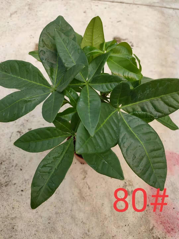 发财树80# 50盆/件 联盛