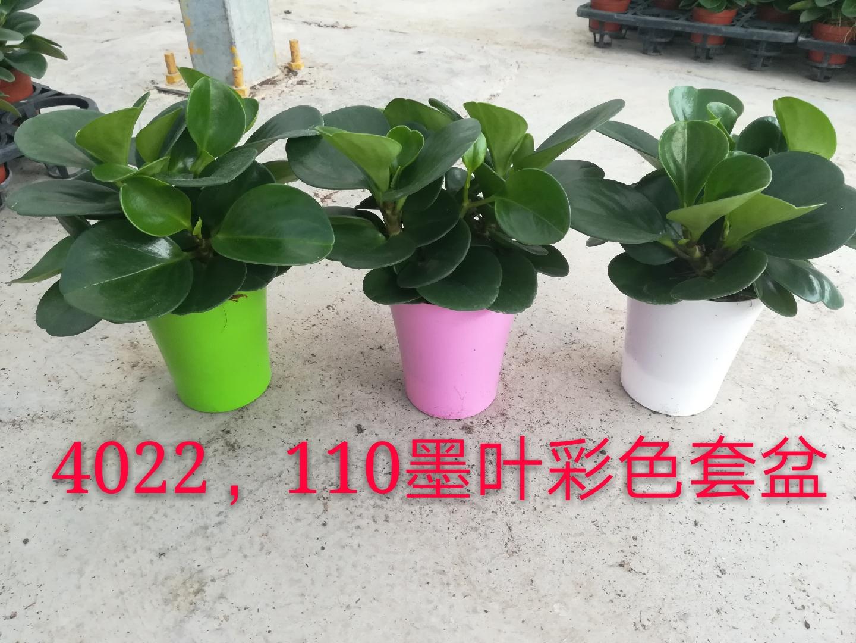 彩盆墨叶碧玉110# 20盆/件 缤纷宝翠
