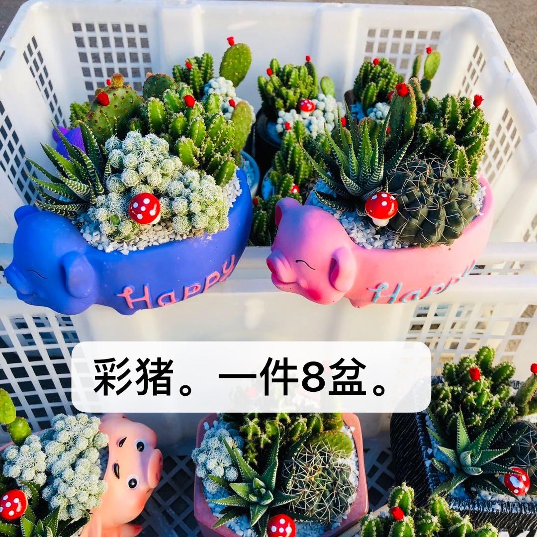 彩猪 8盆/件 国金