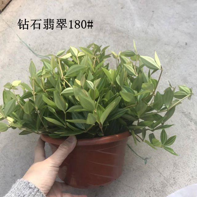 钻石翡翠180# 9盆/件 禾金