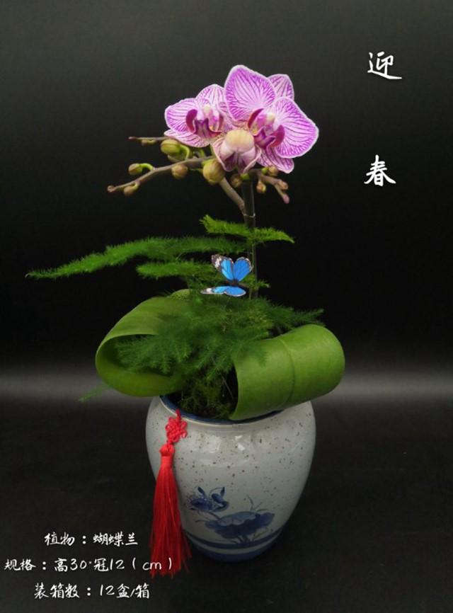 蝴蝶兰-迎春 12盆/件 卉海