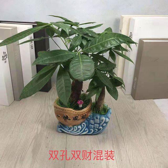 发财树混装15盆/件 启航
