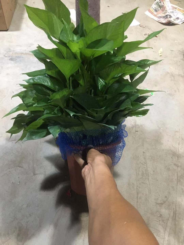 260#绿萝柱  8盆/件  栀子花基地