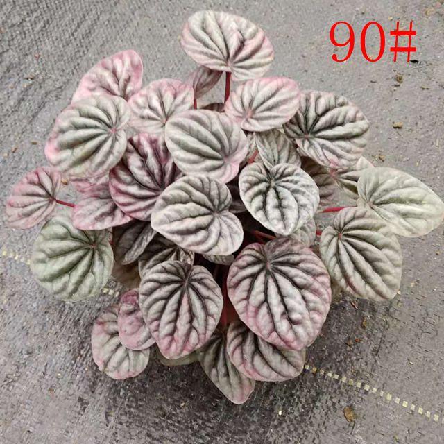 红美人90#35盆/件 双怡