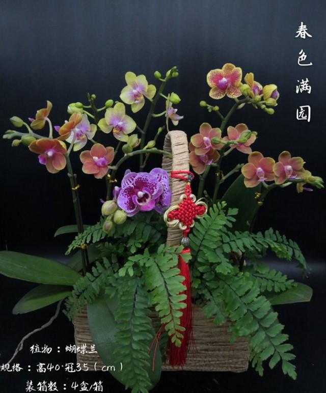 蝴蝶兰-春色满园 4盆/件 卉海
