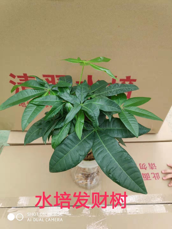 水培发财树110# 24盆/件 清翠